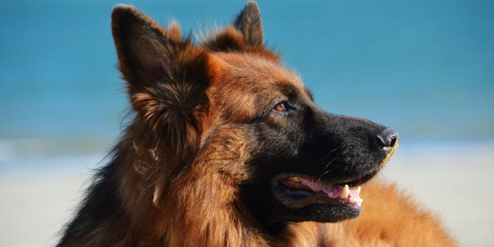 La FBB récupère une chienne de sécurité maltraitée