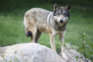 L'État crie aux loups !