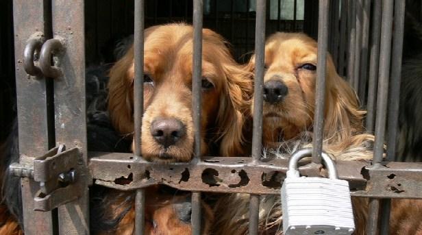 coree du sud élevage de chien pour la viande