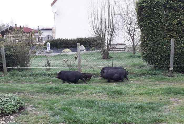 fondation brigitte bardot sauvetage cochons vietnamiens eure