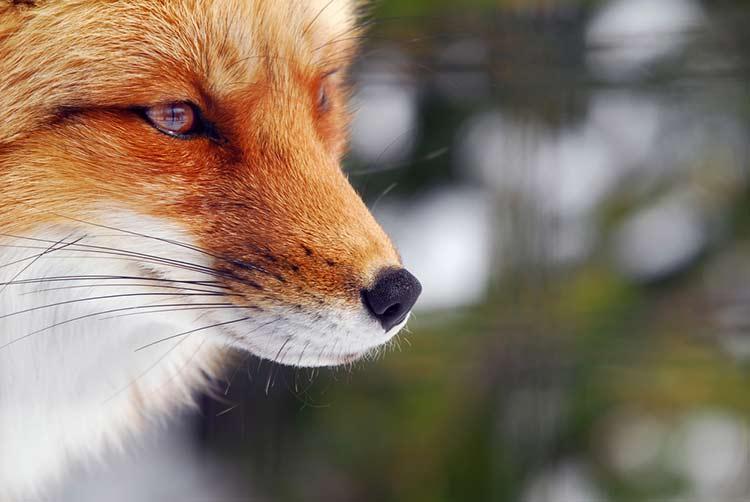 FBB combat contra la chasse au renard