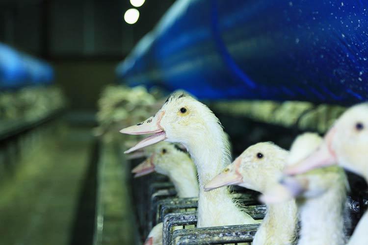 Fondation Brigitte Bardot combat foie gras gavage canards oies