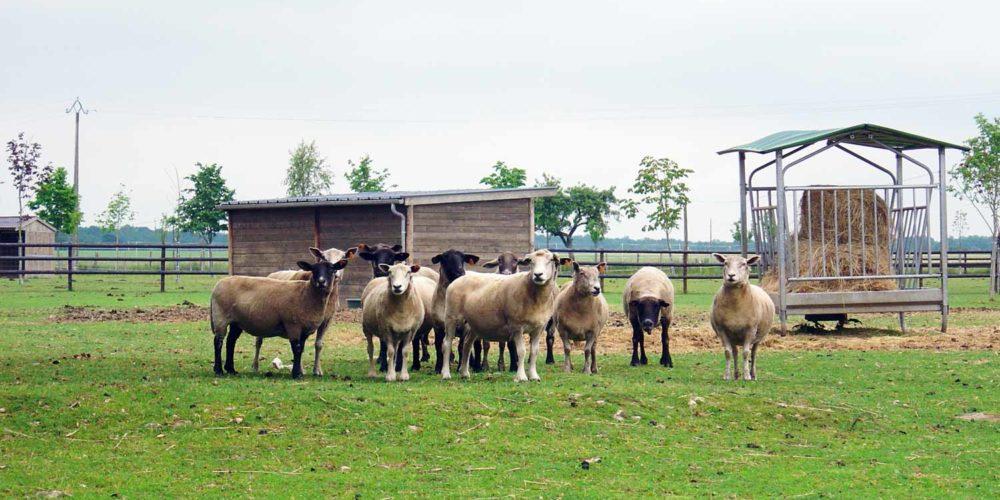 Manche : prise en charge de 26 bovins et ovins en manque de soins