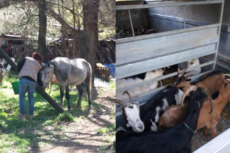 La FBB recueille un cheval et 31 chèvres dans le Var