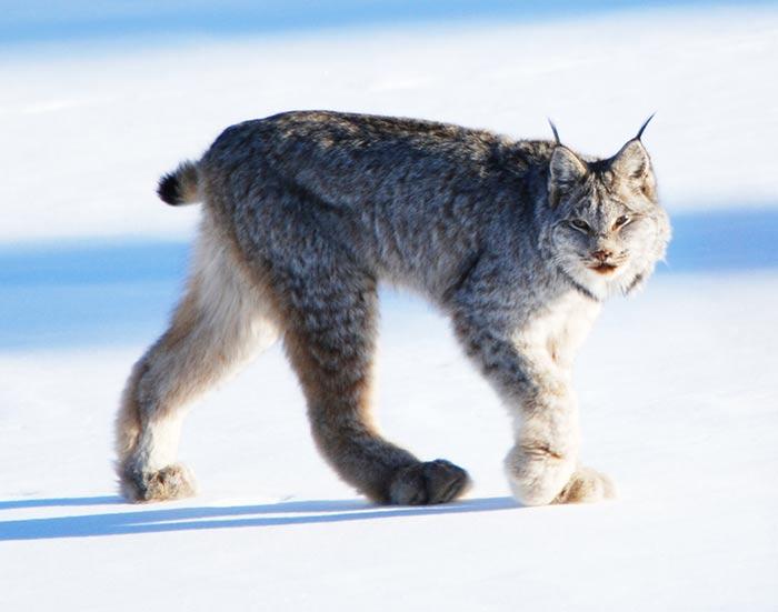 fondation brigitte bardot fourrure lynx