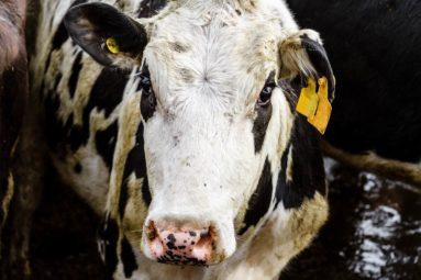 Projet de ferme-usine des 1 000 vaches : Brigitte Bardot écrit son indignation au ministre de l'Agriculture