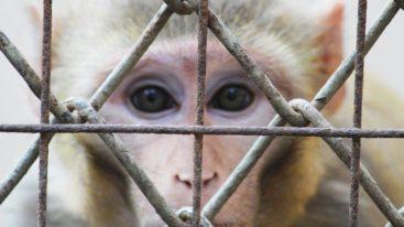Air France : stop au transport aérien des animaux pour les laboratoires !