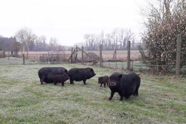 La FBB prend en charge cinq cochons vietnamiens abandonnés dans l'Eure
