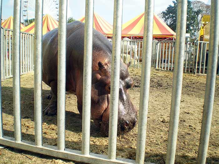 fondation brigitte bardot cirque sans animaux hippopotame