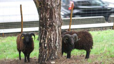 Vol de moutons sur le périph parisien : la FBB interpelle Anne Hidalgo
