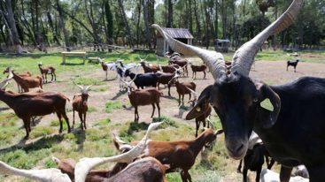 La Fondation recueille 7 chèvres abandonnées sur un terrain
