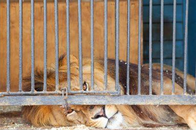 Le Roi Lion est en danger !
