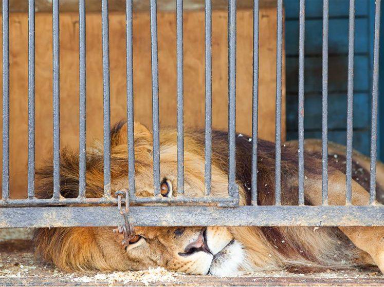 le roi lion captivite dressage cirques zoos chasse aux trophees