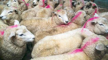 La Wallonie interdit l'abattage sans étourdissement dès septembre 2019