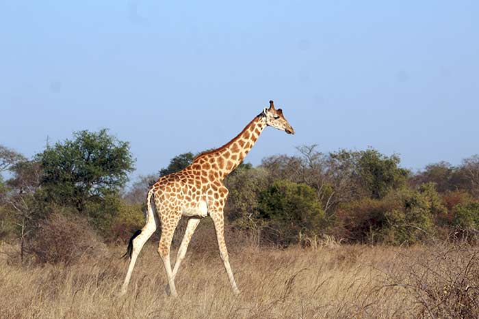 CITES-2019-FBB-animaux-sauvages-girafe