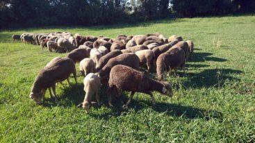 Aïd el-Kebir 2019 : 220 moutons sauvés et recueillis par la FBB !