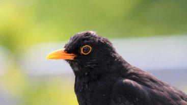La ministre de l'Écologie autorise le piégeage de centaines de milliers d'oiseaux