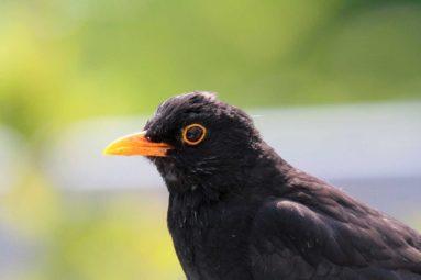 La ministre de l'Écologie vient d'autoriser le piégeage de centaines de milliers d'oiseaux !