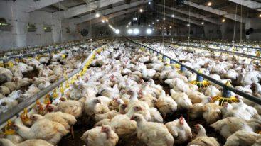 L'appel de 200 personnalités pour en finir avec l'élevage intensif