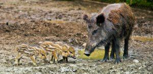 Dites NON à la prolongation de la chasse au sanglier jusqu'au 31 mars !