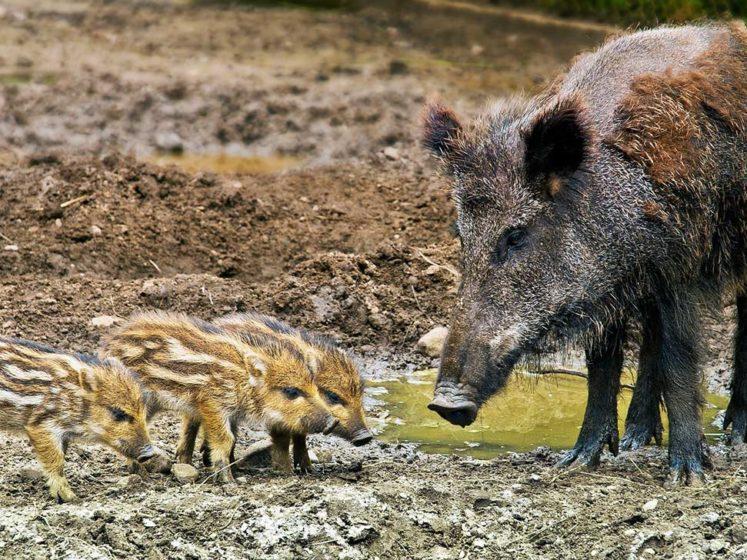 fondation brigitte bardot consultation publique prolongation chasse sanglier