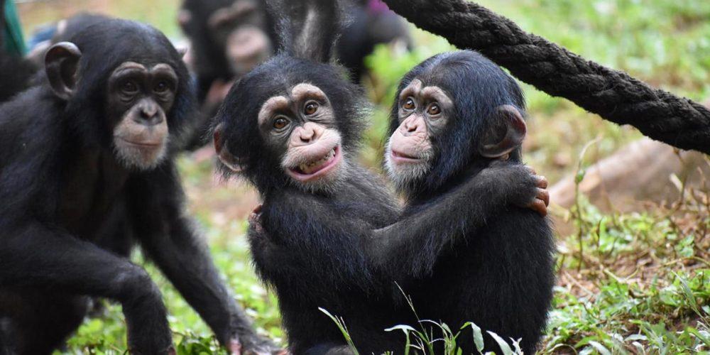 Depuis 2016, la FBB soutient les sanctuaires africains de PASA Primates