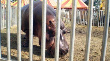 18 ONG européennes se mobilisent pour des cirques sans animaux !