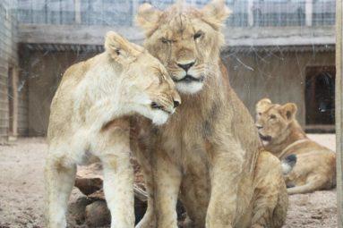 Tonga : 4 lionceaux rescapés du trafic vont s'envoler vers l'Afrique du Sud !