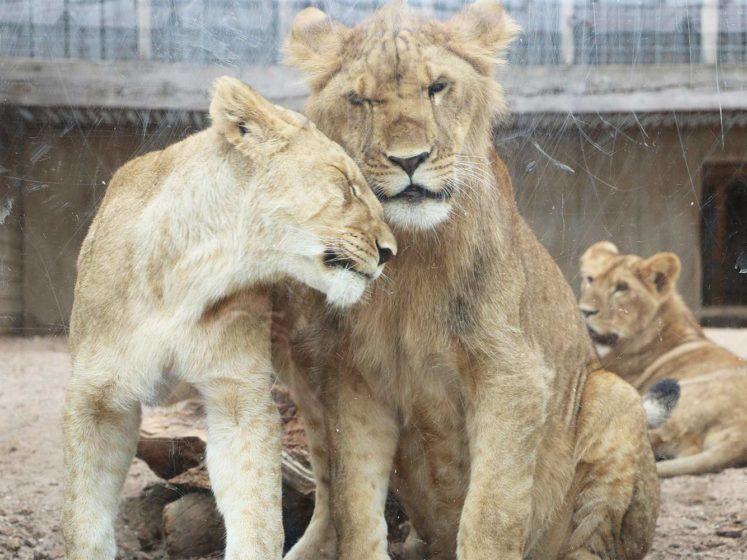 fondation brigitte bardot tonga terre d accueil lionceaux trafic animaux sauvages afrique du sud reserve bornfree