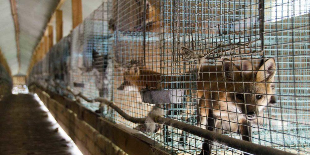 La fourrure d'animaux sauvages interdite en Californie dès 2023