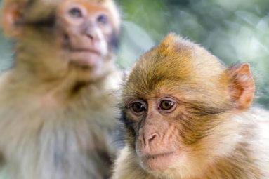Les macaques rescapés de Labenne rejoignent le refuge de La Tanière