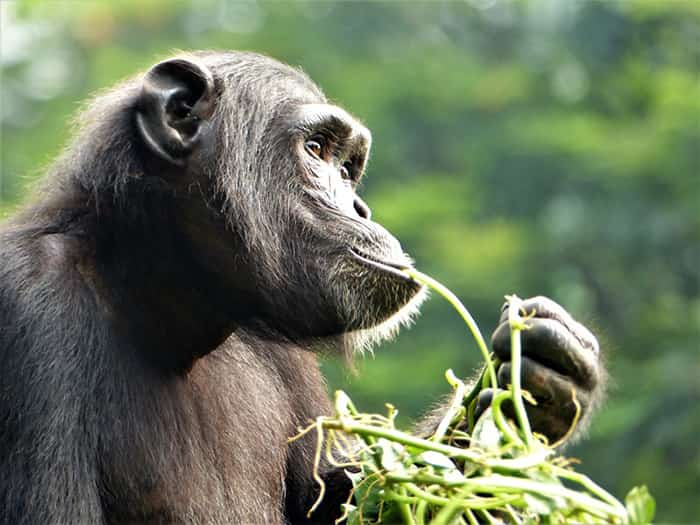 fondation brigitte bardot aide internationale primates singes chimpanzes
