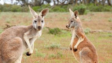 Viande de kangourou : l'horreur dévoilée !