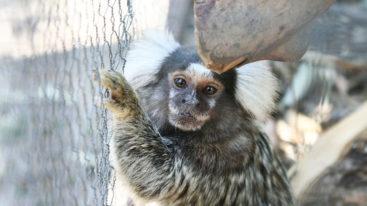 Au Brésil, la FBB aide Projeto Mucky à sauvegarder les primates