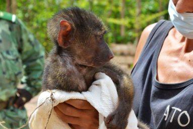 Depuis 2016, la FBB aide ATO Bénin à protéger les primates