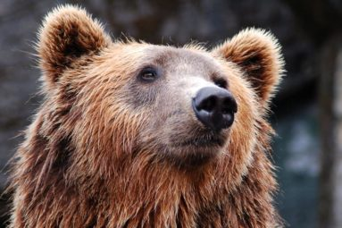 Les ours Glasha et Bony enfin retirés à leurs dresseurs pour être soignés !