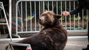 Autopsie de Micha : l'ours subissait un dressage brutal