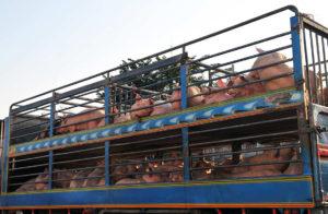 fondation brigitte bardot petition longs transports fermes-usines