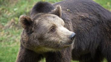 L'ours Vesko est recueilli au Parc Belitsa en Bulgarie