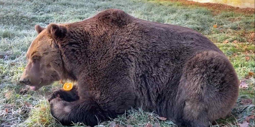 Sauvé par la Fondation Brigitte Bardot, l'ours Bony découvre le Refuge de l'Arche