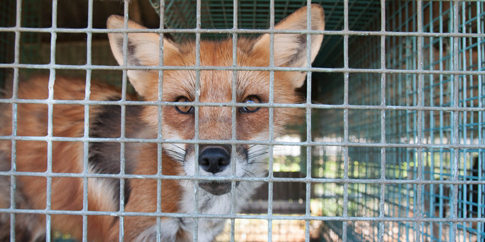 La marque Karl Lagerfeld s'engage à ne plus utiliser de fourrure animale !