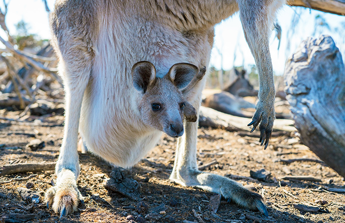 Fondation Brigitte Bardot scandale viande kangourou kangourous chasse viande