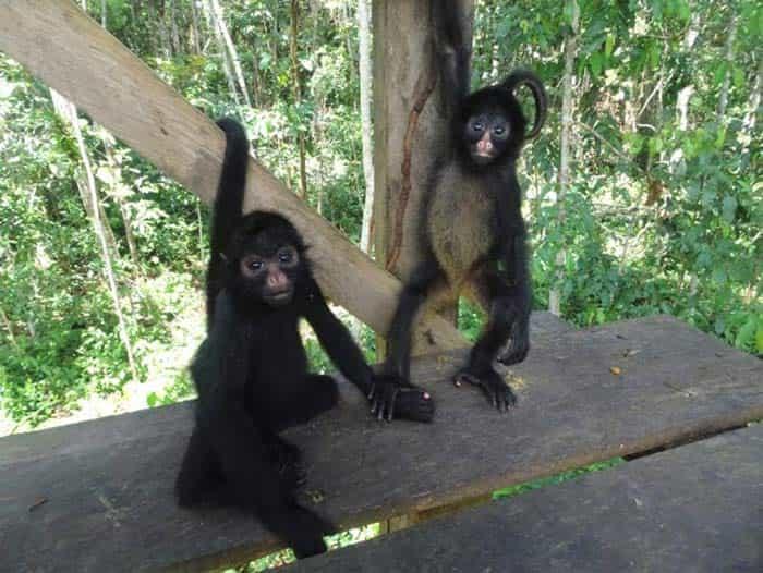 fondation brigitte bardot aide internationale perou ikamaperu primates singes