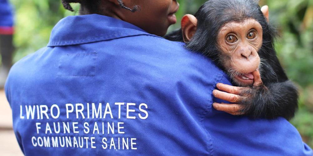 Depuis 2009, la FBB aide Lwiro à protéger les primates en RDC