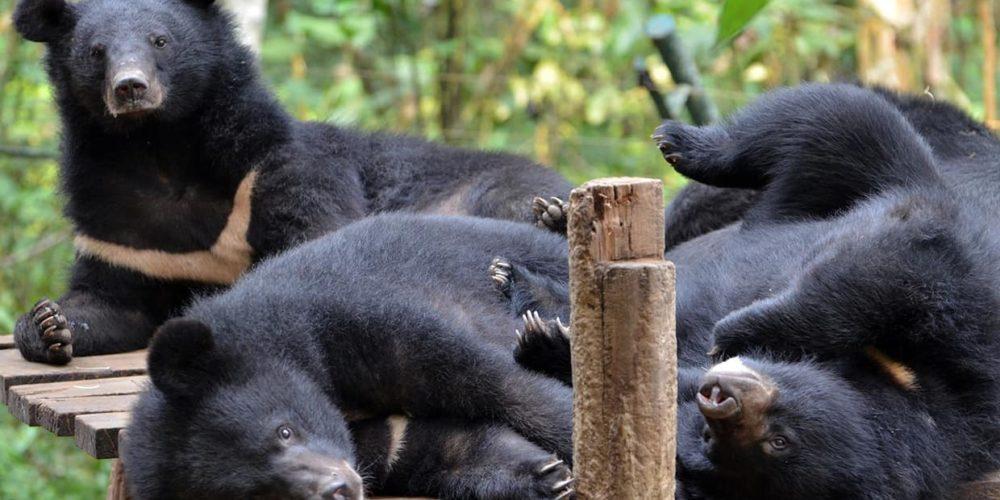 Cambodge : la FBB aide Free The Bears à soigner les ours depuis 2017