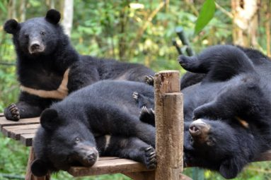 Cambodge : la FBB aide Free The Bears à soigner les ours depuis 2017