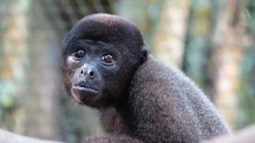 Au Pérou, la FBB aide Ikamaperu à protéger les primates depuis 2007