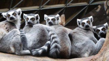 À Madagascar, la FBB aide Reniala à sauver les lémuriens depuis 2015