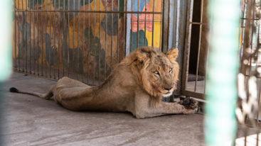 Urgence pour les animaux du zoo familial d'Al Qurashi au Soudan !