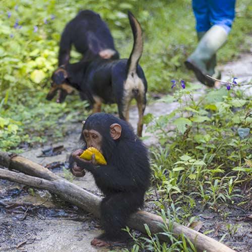 FBB Cameroun chimpanzés